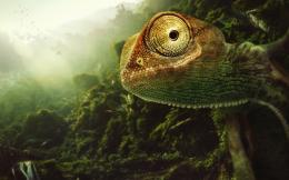 Chameleon Wallpapers 774
