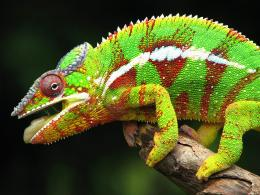 ChameleonAnimals Wallpaper28906583Fanpop 1802