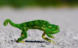 chameleon | HD Wallpapers Rocks 1900