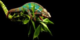 October 14, 2015 By admin Comments Off on Chameleon Lizard Wallpapers 785