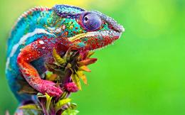 Colorful Chameleon | Wallpapers Gallery 853