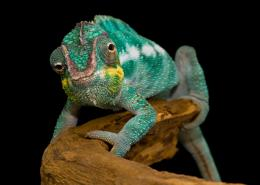 Panther chameleon by SnowPoring on DeviantArt 1558