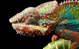 Colorful chameleon HD wallpaper | Wallpaper 1134
