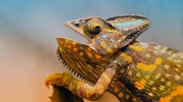 Chameleon Close Up Lizard Desktop Wallpapers 1350x2400 1225