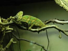Chameleon Wallpapers 915