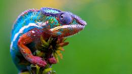Colorful Male Chameleon Lizard, Chameleonsfamily Chamaeleonidaeare 1127