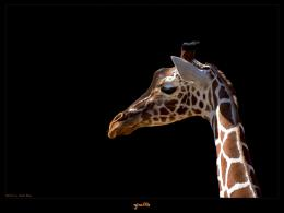 wallpapers giraffe vista beautiful animal wallpaper 81750 863