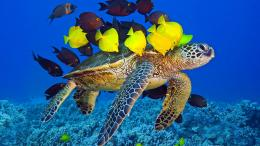 Sea turtle ocean underwater yellow and brown fish Wallpaper, Desktop 1175