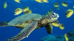 sea turtle wallpaper 2 sea turtle wallpaper 3 sea turtle wallpaper 4 990