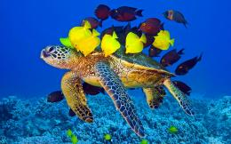 Sea turtle fish Wallpapers Pictures Photos Images 1006
