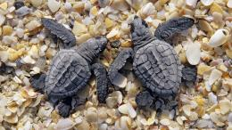 young black turtles on the beach | HD turtles wallpapersbackgrounds 955