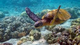 ocean turtles sea turtles underwater sea Nature Oceans HD Wallpaper 1195