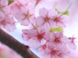 Cherry Blossom Wallpaper – Collection of Cherry Blossom Wallpapers 1701