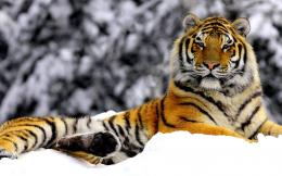 ROYAL HANDSOME, cat, handsome, siberian, tiger, wild, winter 13780 450