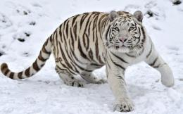 Tiger Running In Snow And Blue Sky Tigers Wallpapers On Desktop 214