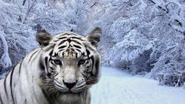 Tiger snow forest wallpaper in Animals wallpapers with all resolutions 802