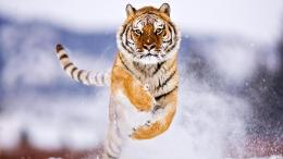 The Ride Of The Tiger On Snow Hd Wallpaper | Wallpaper List 502