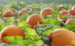 Pumpkins on the Field wallpapers | Pumpkins on the Field stock photos 727