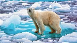 Polar Bear wallpaper : Free Choice Wallpaper 573