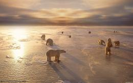 wallpaper White, Bears, polar bear, ice free desktop wallpaper 901