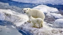 Polar Bear Family Baby Snow Ice Ocean Wallpaper Widescreen Hd 1538