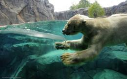 wallpaper polar bear, ice, dives, water free desktop wallpaper 278