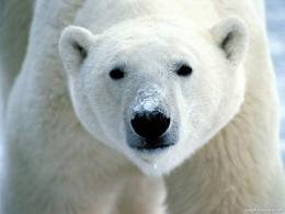 Download wallpaper Icebear 12Animals 844