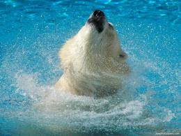 Download Bears wallpaper, \'Icebear 11\' 1707