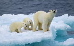 Polar bear family on ice flow water nature HD Wallpaper 953