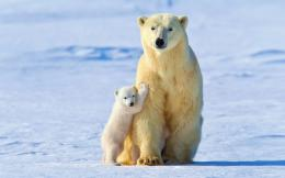 Wallpaper white bear, baby polar bears, winter, snow, light wallpapers 809