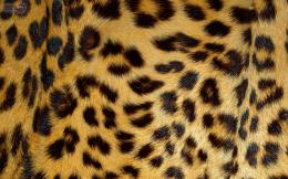 leopard wallpaper leopard face wallpapers leopard wallpapers leopard 908