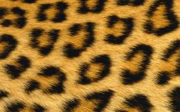 1440x900 Leopard Skin desktop PC and Mac wallpaper 699