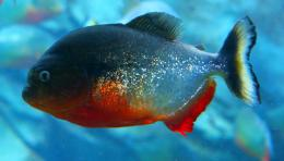 Piranha fish photo and wallpaperCute Piranha fish pictures 1803