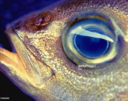 Pigfish Close Up Stock Photo | Getty Images 880