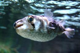 fish wallpapers porcupinefish wallpapers porcupinefish wallpapers 1013