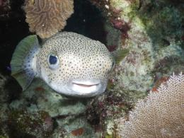 Porcupinefish swims photo and wallpaperCute Porcupinefish swims 1095