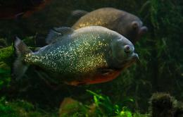 Piranha swims photo and wallpaperCute Piranha swims pictures 749