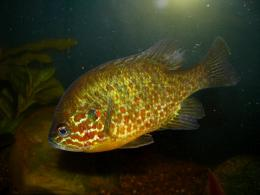 Pumpkinseed in aquarium photo and wallpaperCute Pumpkinseed in 1701