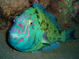Parrotfish in the bottom photo and wallpaperCute Parrotfish in the 603