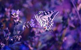 Purple Butterfly Backgrounds 988