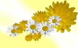 White daisies flower daisy abstract wallpaper 1986