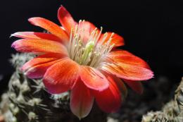 Cactus FlowerDesktop Wallpaper 1588