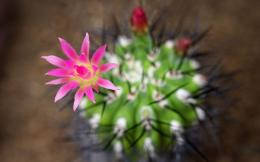 Pink Cactus Flower HD Wallpapers Desktop 802
