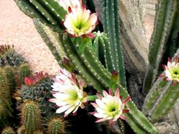 Flowers 12 Cactus Blooms Nature hd wallpaper #322335 1281