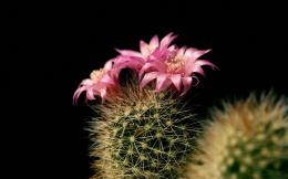 wallpaper, flowers, christmas, nature, picture, cactus, allimg 1656
