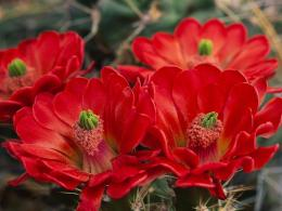 Cactus flower wallpaper computer freebeautiful desktop wallpapers 1347