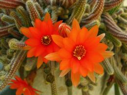 Cactus flower wallpaper computer freebeautiful desktop wallpapers 349
