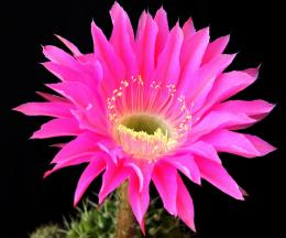 Download Wallpaper cactus, flower, blossomed, background HD Background 1875