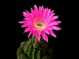 Pink Cactus Flower wallpaperForWallpaper com 1247