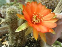 Cactus Flower Wallpaper | Flower Wallpapers 674